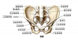 骨盤(前面)