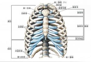 胸郭(前面)